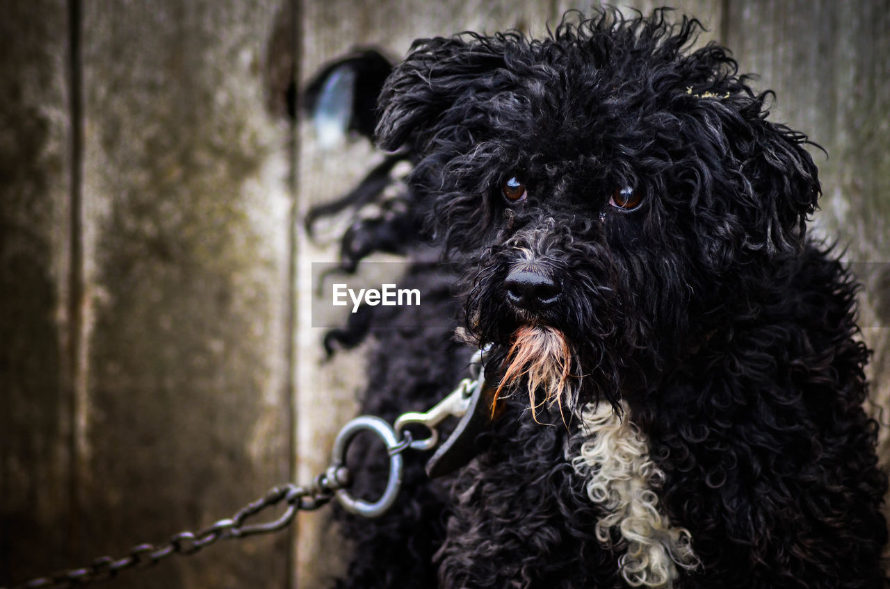 one animal, animal, canine, mammal, dog, pets, animal themes, domestic, domestic animals, vertebrate, focus on foreground, black color, hair, animal head, day, animal body part, looking at camera, no people, portrait, animal hair