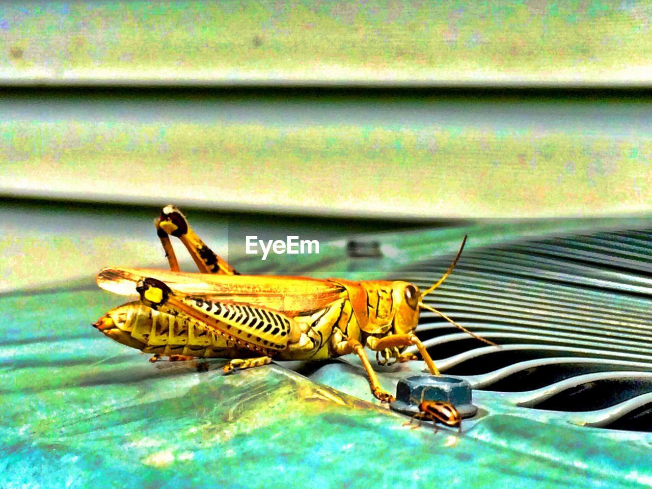 animal themes, insect, animals in the wild, one animal, animal wildlife, no people, day, outdoors, nature, close-up, grasshopper