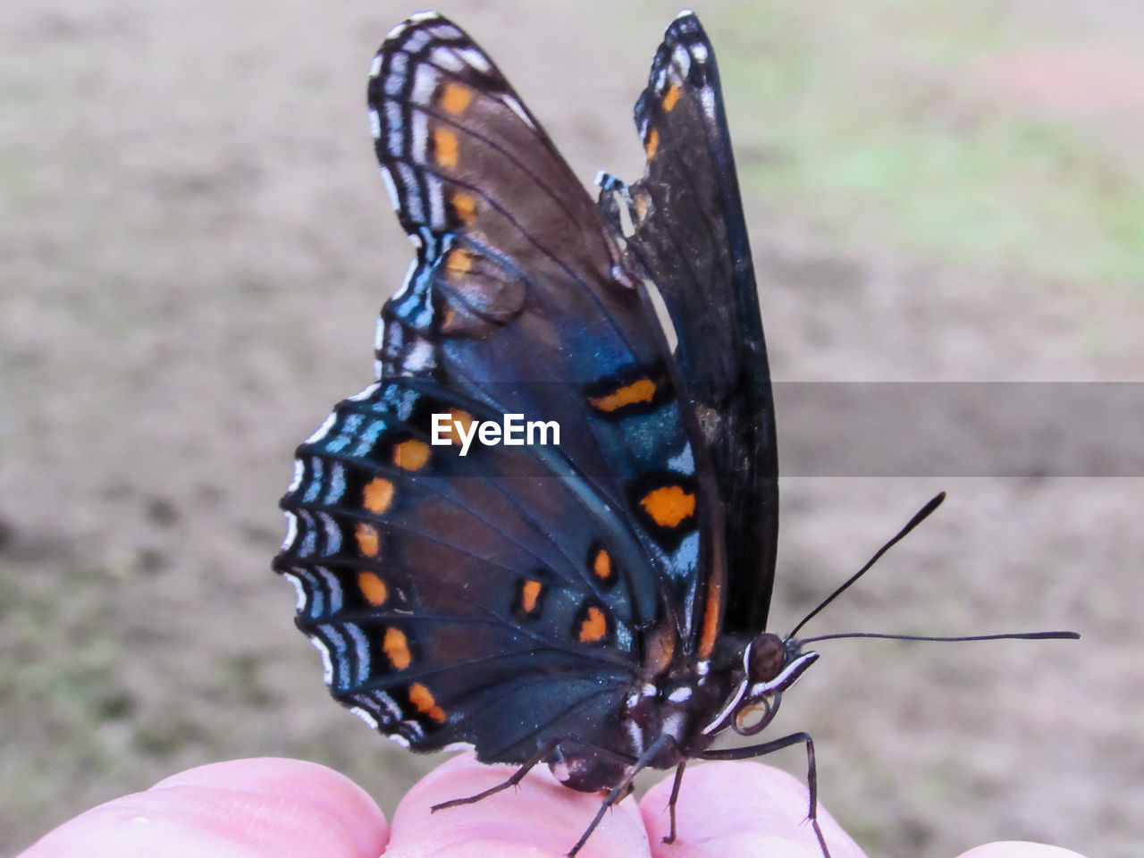 animal wildlife, animal themes, animals in the wild, insect, animal, one animal, butterfly - insect, invertebrate, animal wing, real people, human hand, close-up, focus on foreground, beauty in nature, day, one person, human body part, unrecognizable person, hand, animal markings, body part, butterfly, outdoors, finger