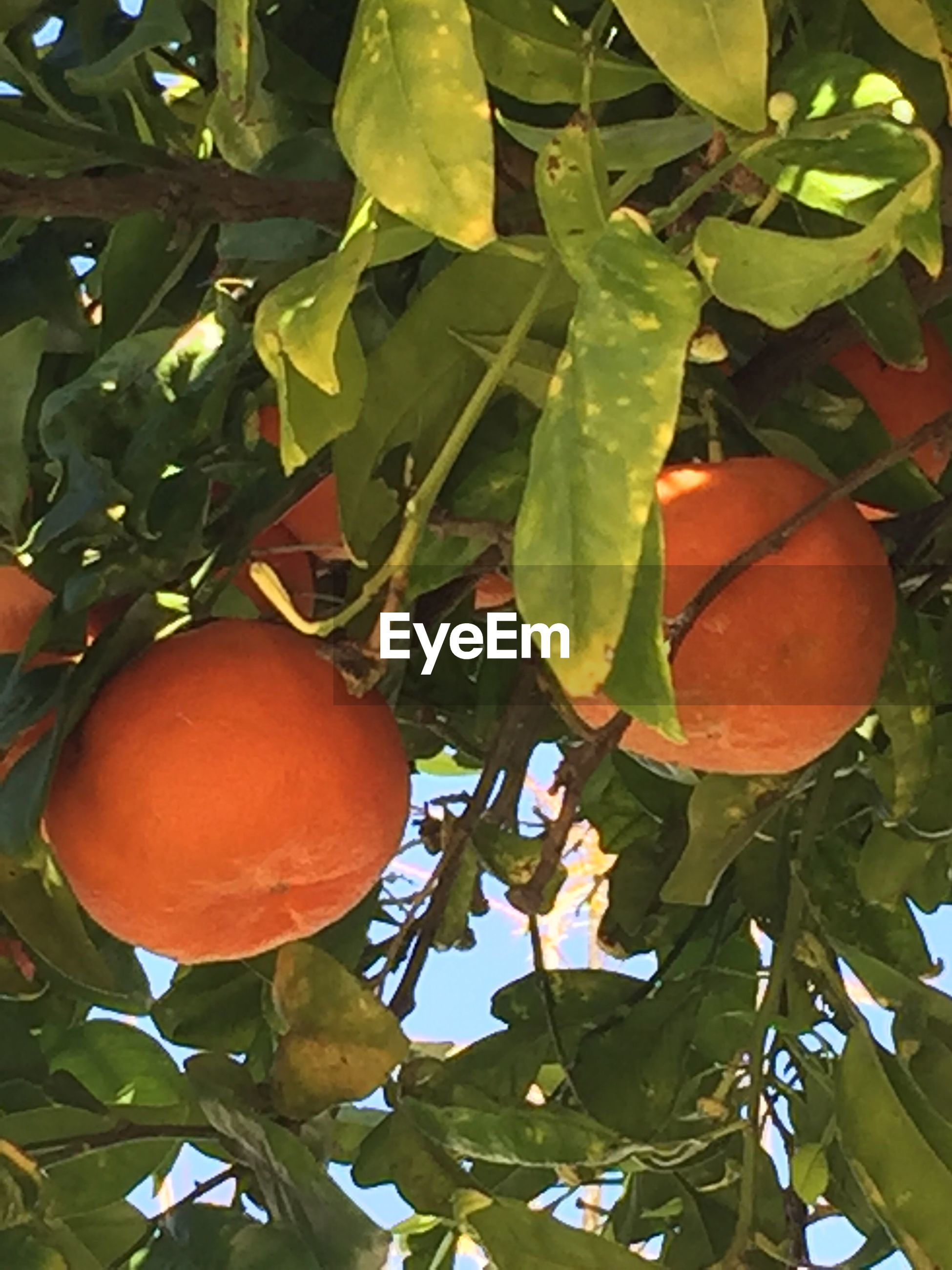 fruit, leaf, food and drink, growth, food, tree, healthy eating, freshness, no people, citrus fruit, agriculture, orange tree, green color, day, hanging, nature, outdoors, close-up, branch, beauty in nature