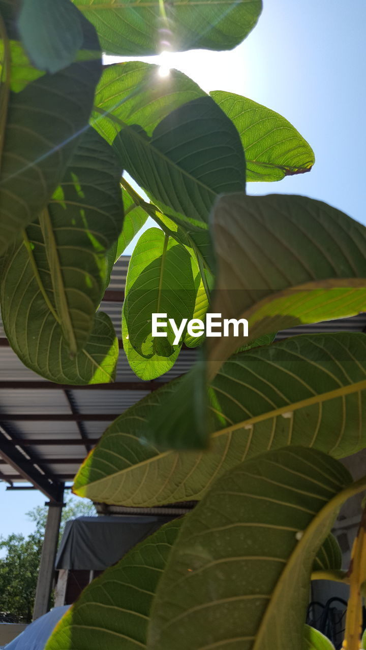 leaf, plant part, plant, green color, growth, nature, beauty in nature, no people, day, sunlight, tree, low angle view, close-up, outdoors, sky, leaves, leaf vein, selective focus, freshness, focus on foreground, palm leaf