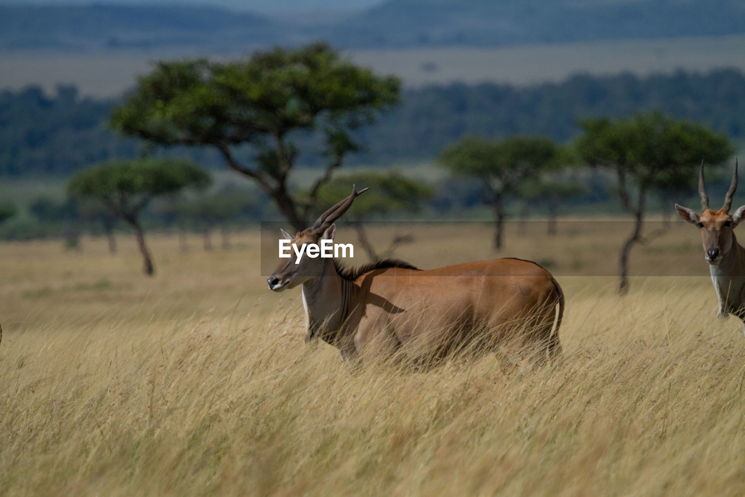 Eland , the largest antelope in the world, in a field of tall dry grass