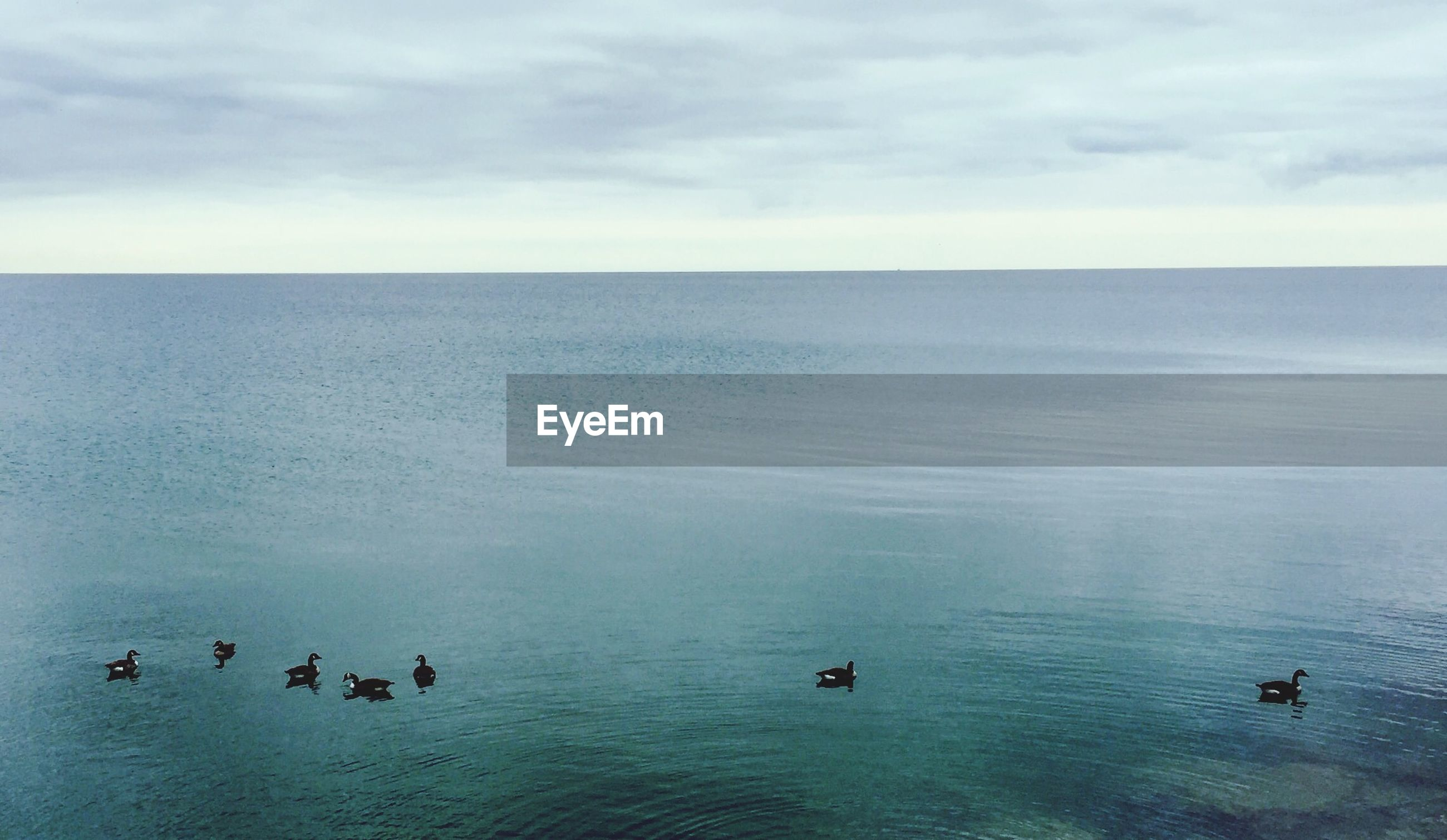 Canada geese swimming in lake against sky
