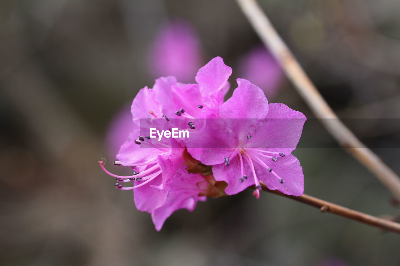 CLOSE-UP OF FRESH PINK FLOWER BLOOMING IN WATER