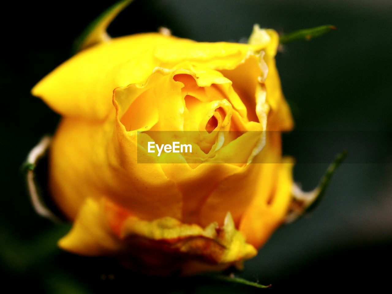 flower, petal, flower head, fragility, freshness, nature, close-up, growth, beauty in nature, no people, rose - flower, outdoors, yellow, plant, blooming, day