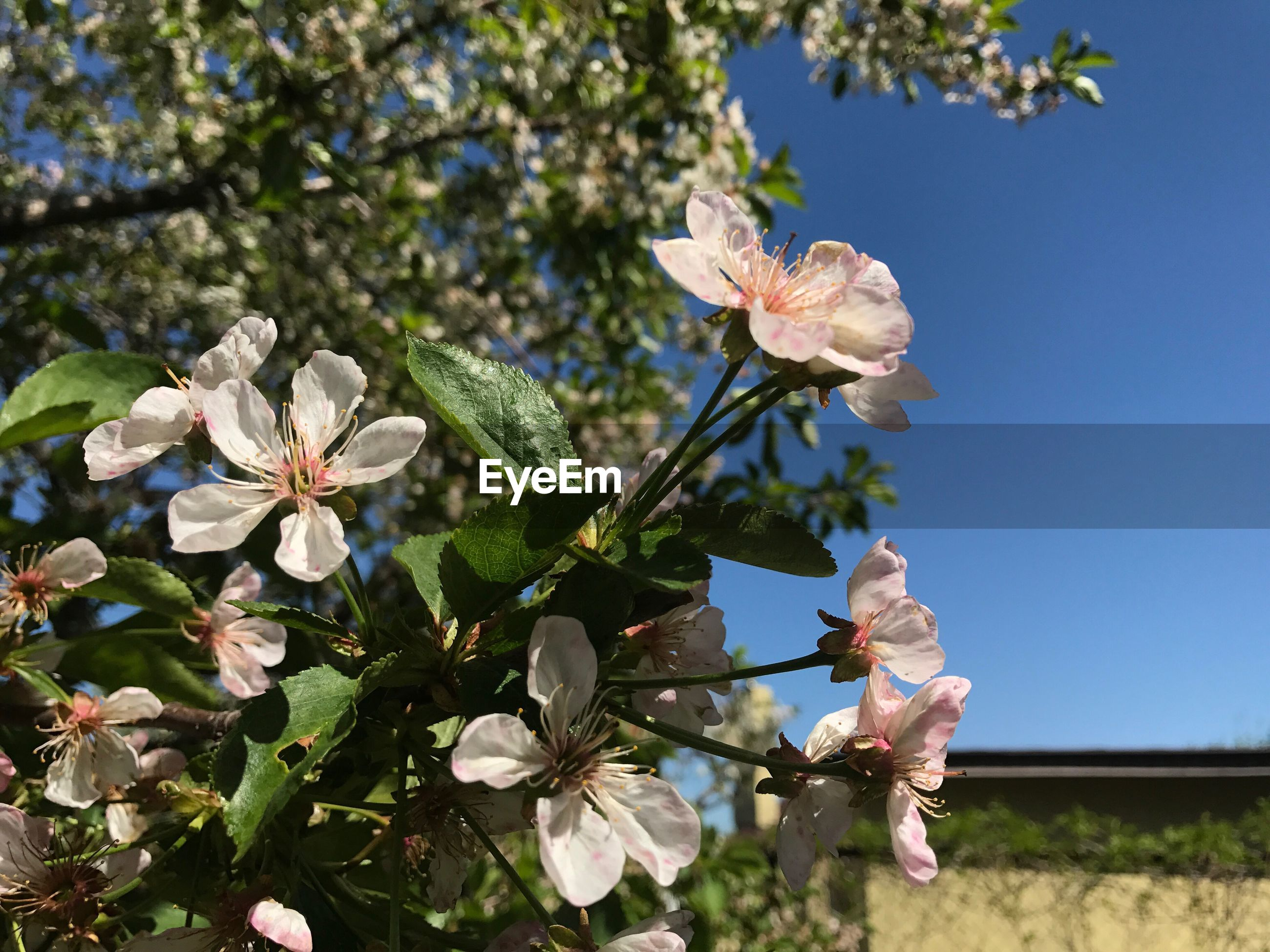 flower, fragility, growth, beauty in nature, petal, nature, freshness, blossom, flower head, tree, white color, day, springtime, outdoors, blooming, branch, no people, low angle view, close-up, sky