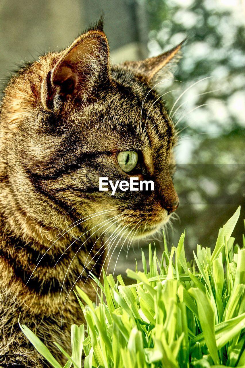 one animal, animal themes, animal, mammal, cat, domestic, feline, domestic animals, domestic cat, pets, vertebrate, close-up, animal body part, no people, whisker, looking, nature, plant, animal head, day, animal eye