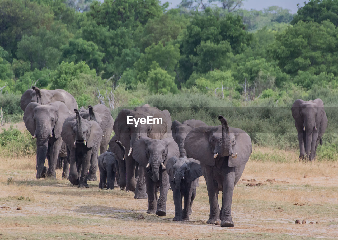 Elephants Walking On Field