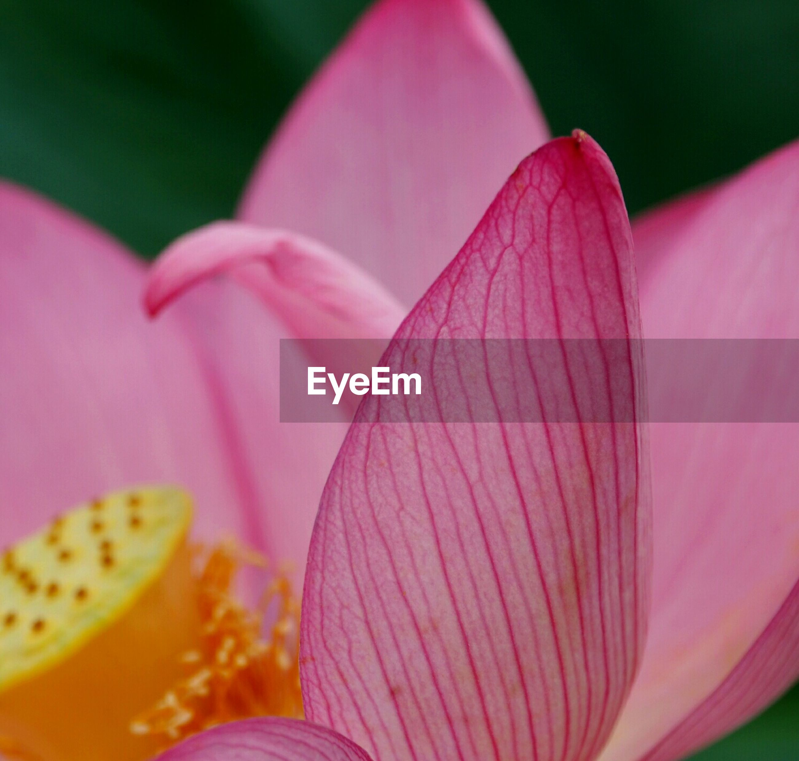 flower, petal, pink color, freshness, fragility, flower head, close-up, beauty in nature, growth, focus on foreground, pink, nature, single flower, selective focus, plant, blooming, tulip, stamen, pollen, purple