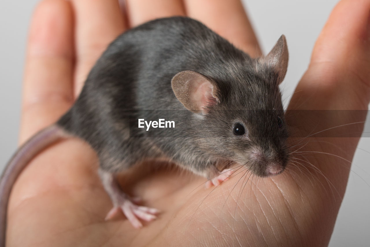one person, human hand, mammal, one animal, animal wildlife, rodent, pets, hand, domestic, real people, human body part, close-up, holding, body part, indoors, vertebrate, lifestyles, whisker, finger, pet owner