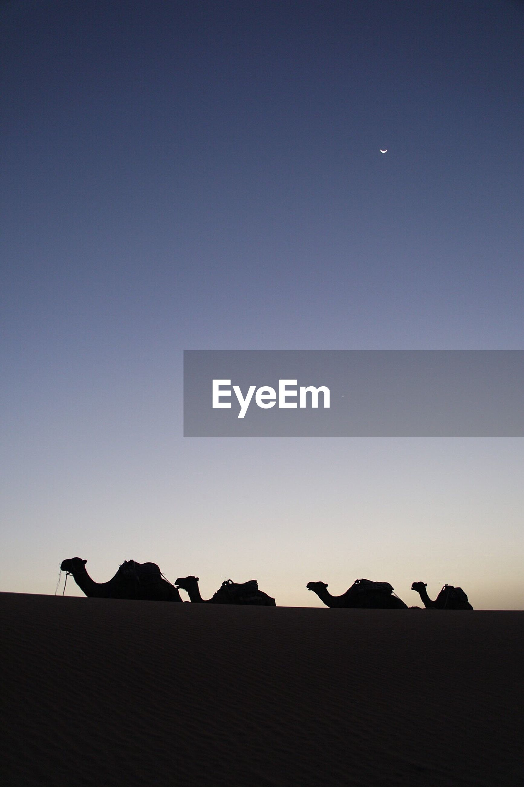 Silhouette camels relaxing at desert against clear sky during sunset