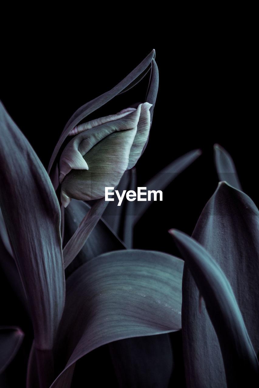 Close-Up Of Tulip Against Black Background