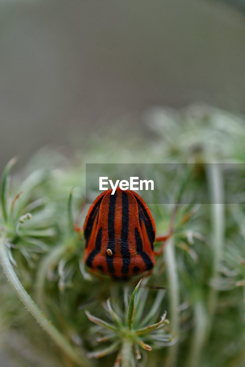 Close-Up Of Graphosoma Lineatum On Plant