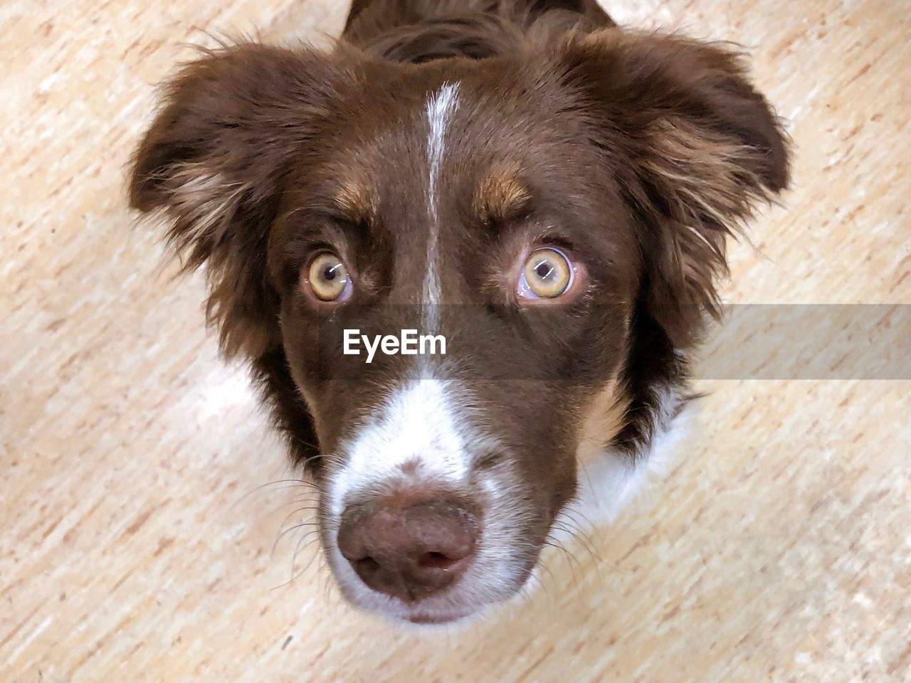 one animal, domestic, domestic animals, animal, mammal, pets, dog, canine, animal themes, portrait, looking at camera, high angle view, close-up, no people, day, wood - material, flooring, indoors, animal body part, wood, animal head, border collie, parquet floor, waiting, animal eye
