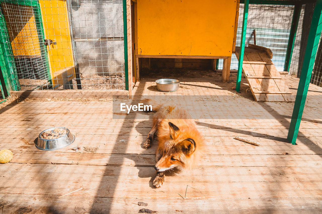 The fox is lying on the floor in his cage. the situation in the enclosure for keeping a predator