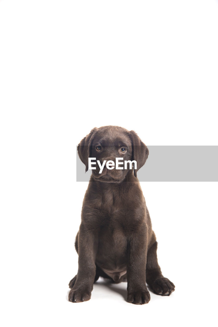 pets, domestic, mammal, one animal, dog, domestic animals, canine, puppy, white background, studio shot, copy space, young animal, portrait, cute, sitting, indoors, vertebrate, people, positive emotion, small, innocence, softness, isolated