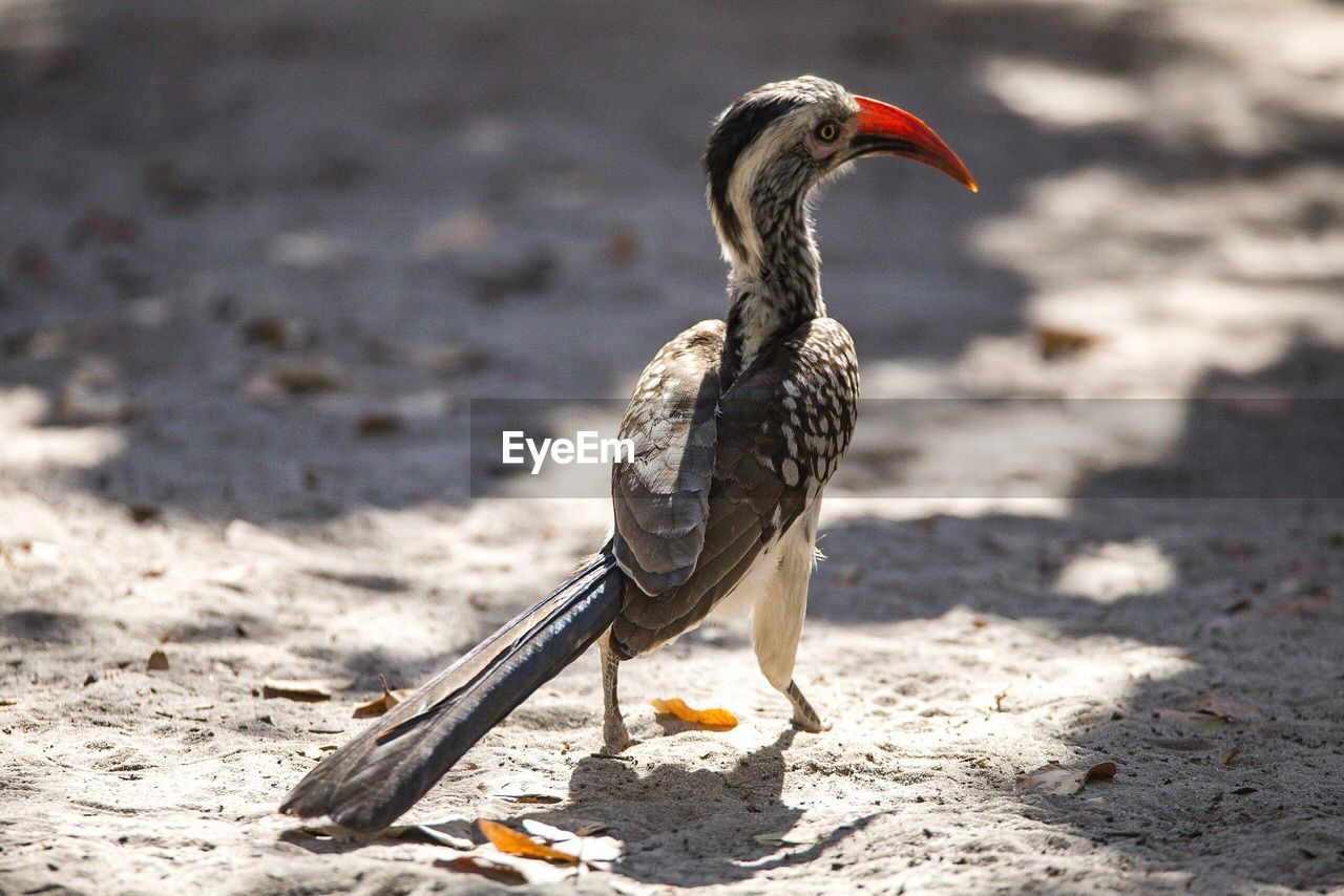 Close-up of red-billed hornbill perching on sand