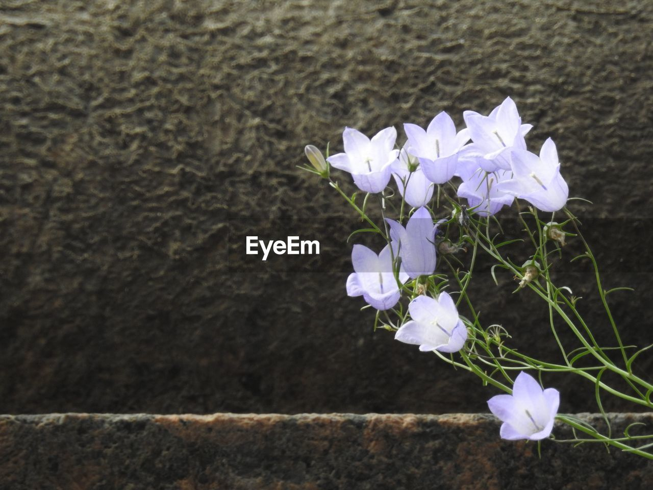 flowering plant, flower, fragility, plant, freshness, vulnerability, petal, beauty in nature, close-up, flower head, inflorescence, growth, nature, no people, white color, day, focus on foreground, outdoors, botany, wall - building feature, purple