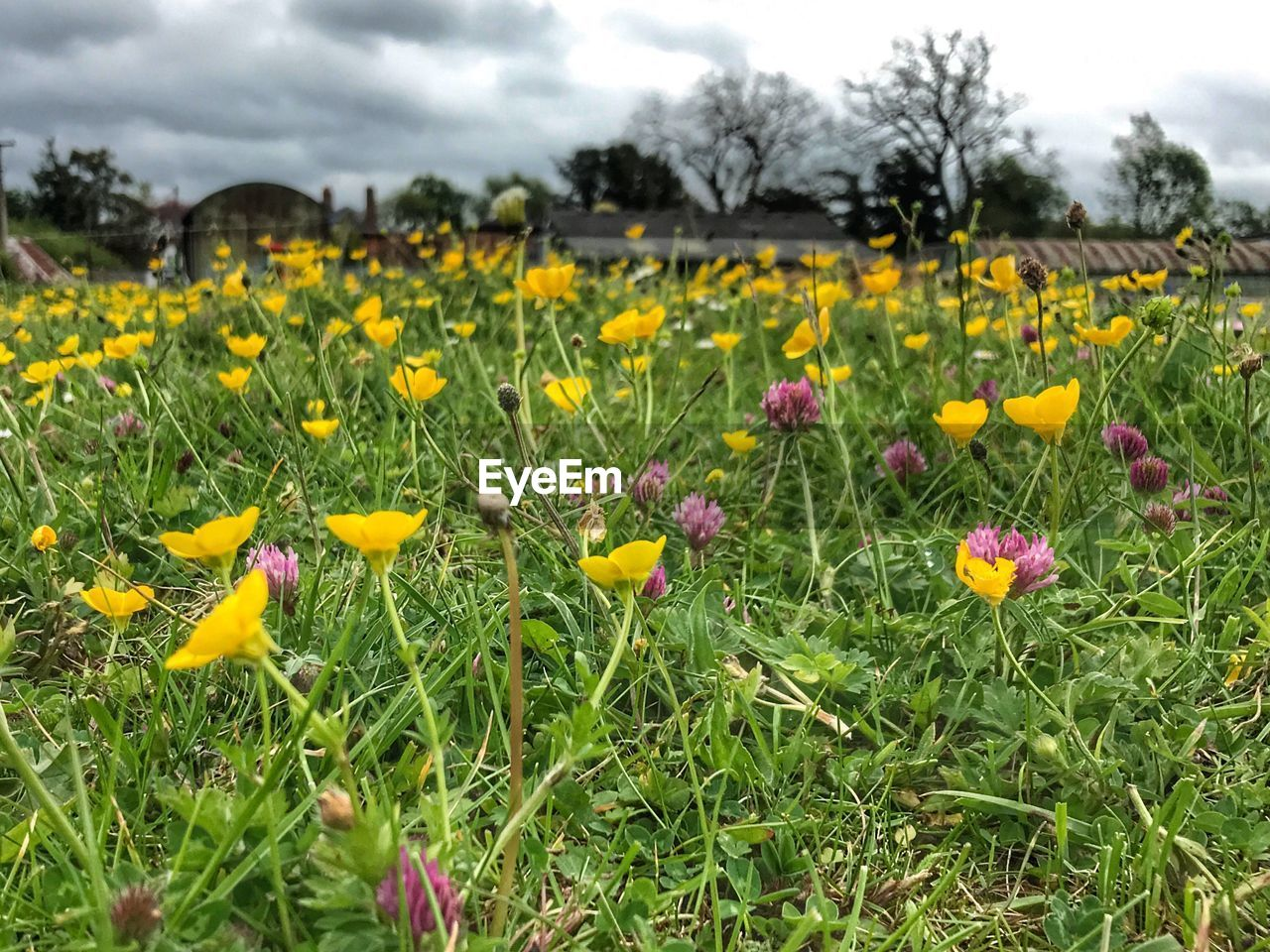 plant, flowering plant, flower, growth, beauty in nature, yellow, field, land, freshness, fragility, vulnerability, sky, nature, day, close-up, cloud - sky, no people, landscape, petal, grass, flower head, outdoors, springtime, flowerbed