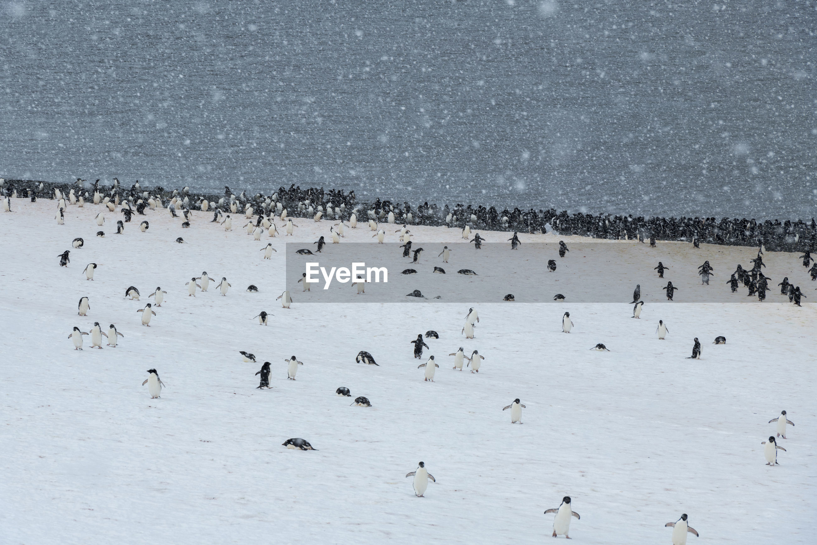 animal wildlife, animals in the wild, animal themes, group of animals, animal, bird, large group of animals, vertebrate, water, nature, winter, beauty in nature, day, cold temperature, no people, snow, lake, scenics - nature, outdoors, flock of birds