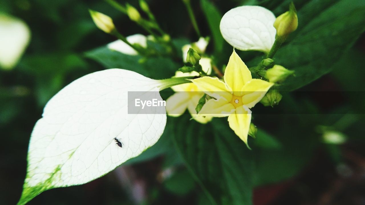 CLOSE-UP OF INSECTS ON WHITE FLOWER