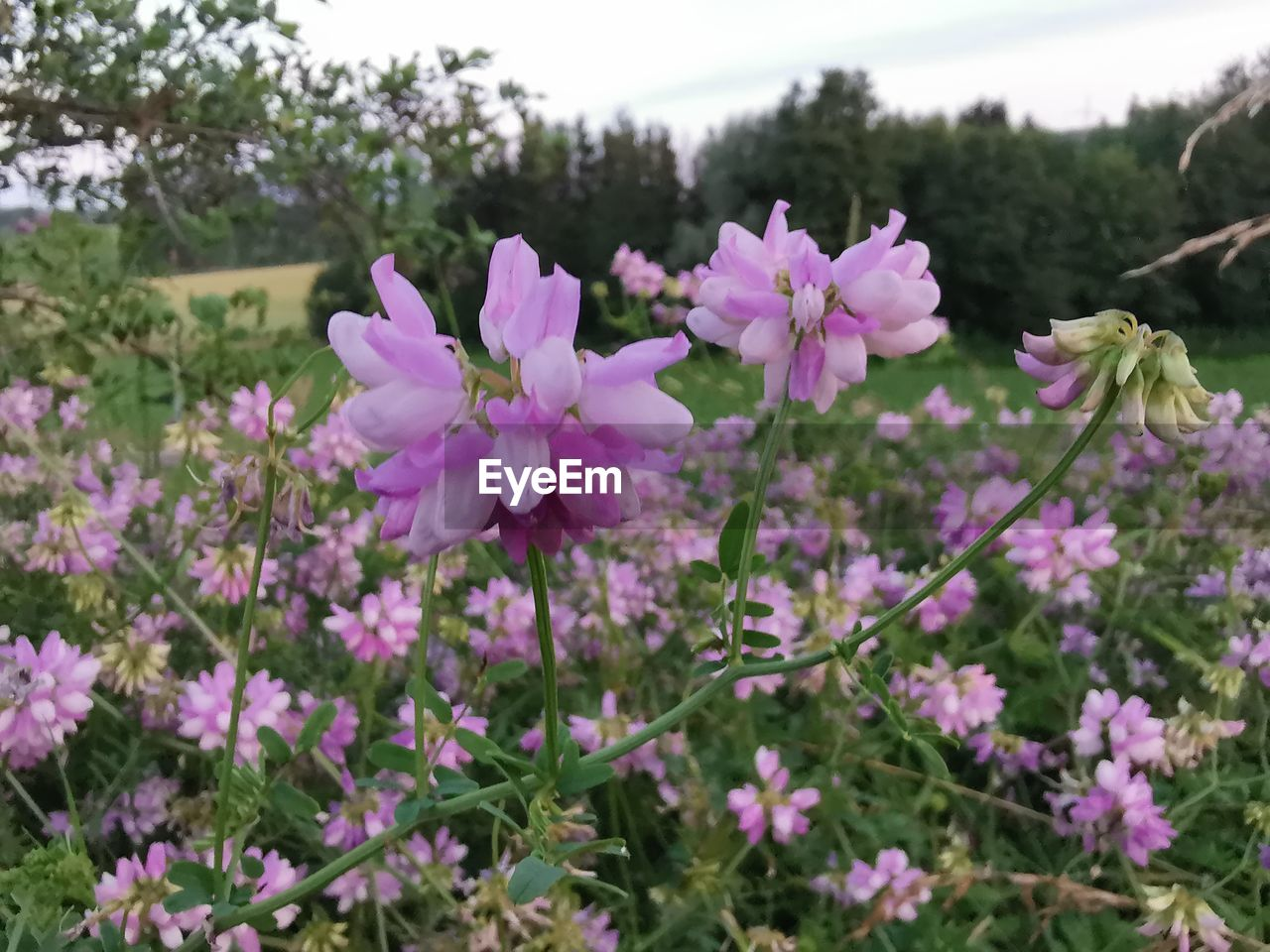 flowering plant, flower, plant, freshness, fragility, vulnerability, beauty in nature, growth, pink color, petal, close-up, flower head, inflorescence, nature, day, land, no people, field, outdoors, focus on foreground, purple