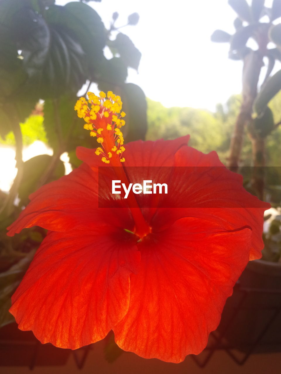 flower, petal, flower head, beauty in nature, fragility, growth, hibiscus, nature, freshness, blooming, plant, close-up, day, outdoors, red, no people