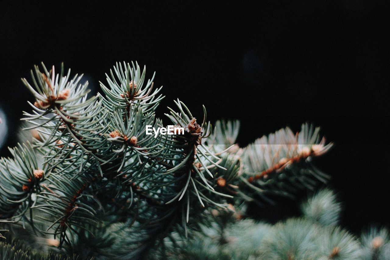 plant, growth, tree, close-up, beauty in nature, nature, no people, selective focus, green color, focus on foreground, pine tree, cactus, branch, succulent plant, coniferous tree, needle - plant part, tranquility, spiked, outdoors, thorn, spiky, fir tree
