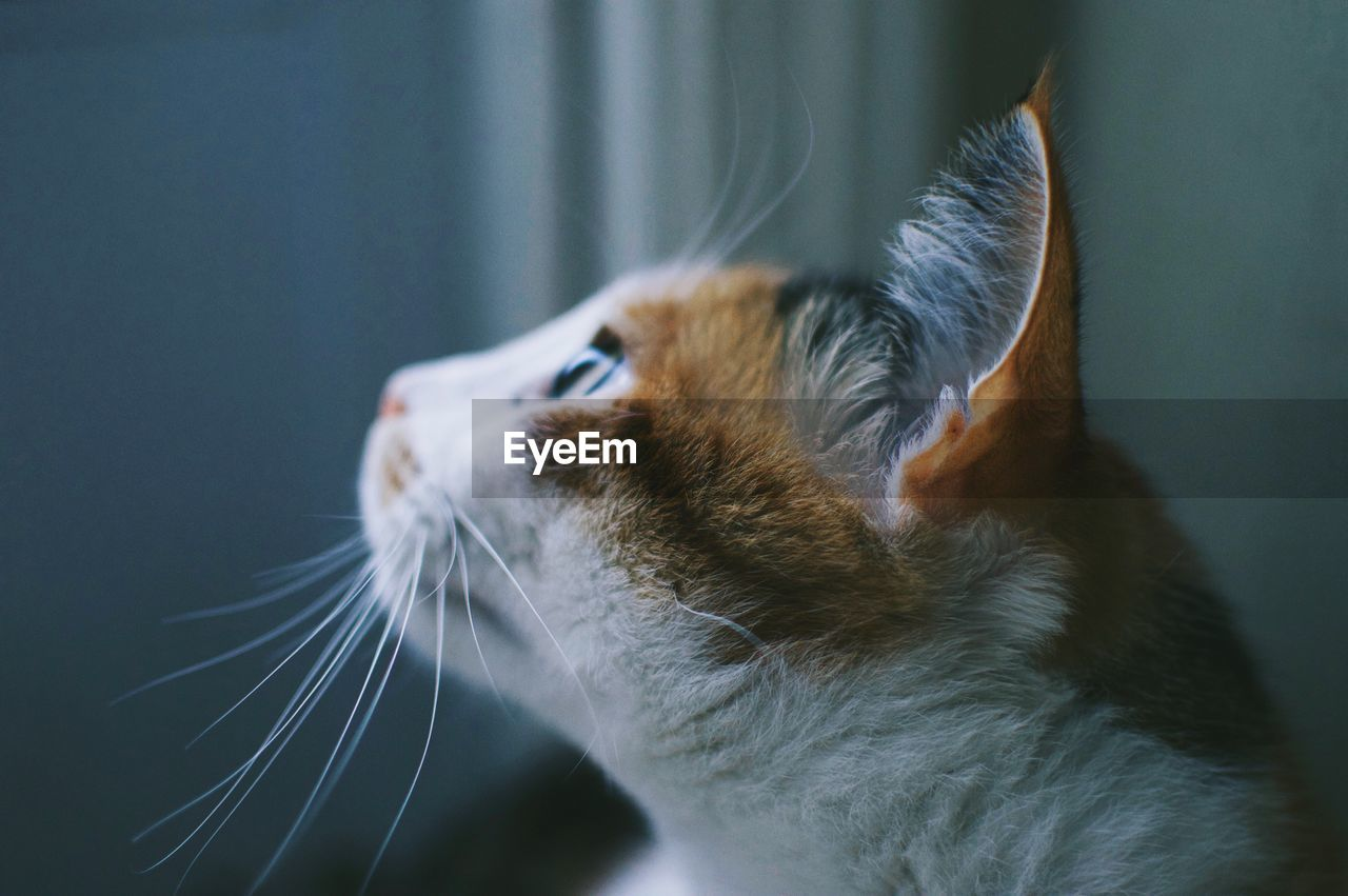 domestic cat, cat, one animal, mammal, feline, pets, animal themes, domestic animals, animal, domestic, vertebrate, whisker, close-up, looking, looking away, no people, animal body part, indoors, focus on foreground, animal head, animal eye