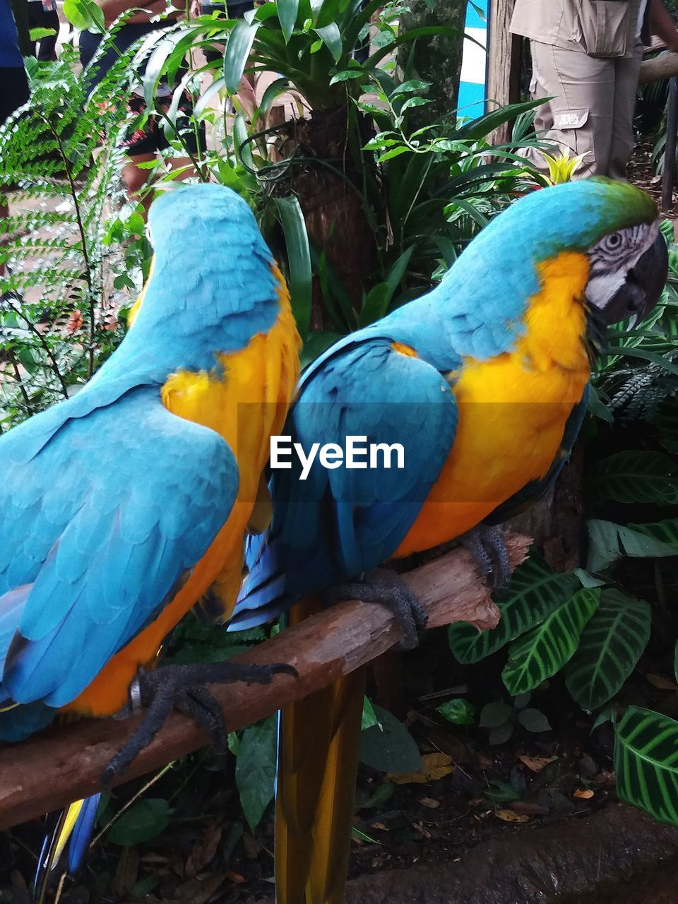 parrot, vertebrate, bird, animal, animal themes, perching, animal wildlife, macaw, animals in the wild, group of animals, no people, day, two animals, nature, plant part, yellow, gold and blue macaw, plant, close-up, leaf, outdoors