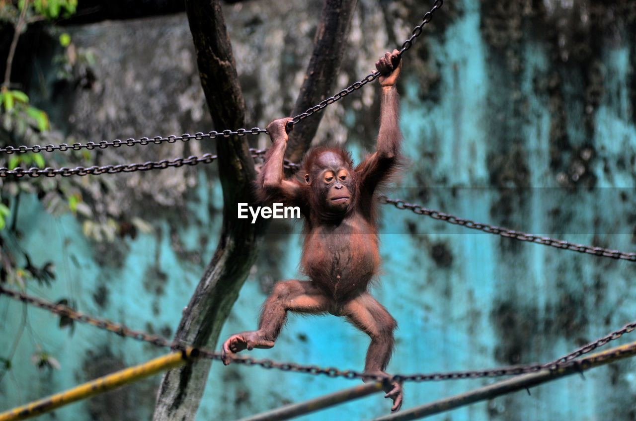 Close-up of orangutan hanging on chain at zoo