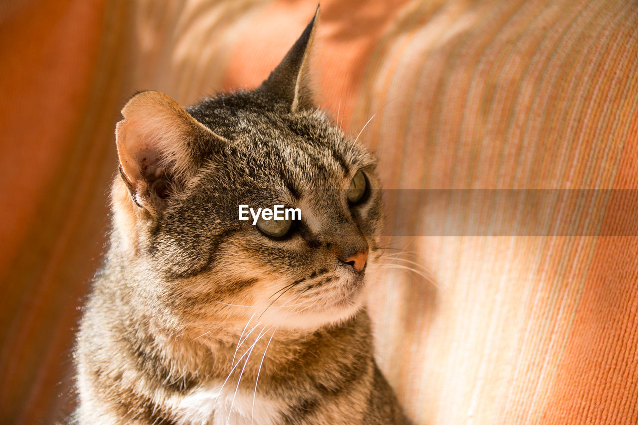mammal, cat, animal themes, domestic, animal, domestic animals, pets, feline, domestic cat, one animal, vertebrate, whisker, close-up, looking, no people, indoors, looking away, animal body part, focus on foreground, portrait, animal head, profile view, tabby, animal eye
