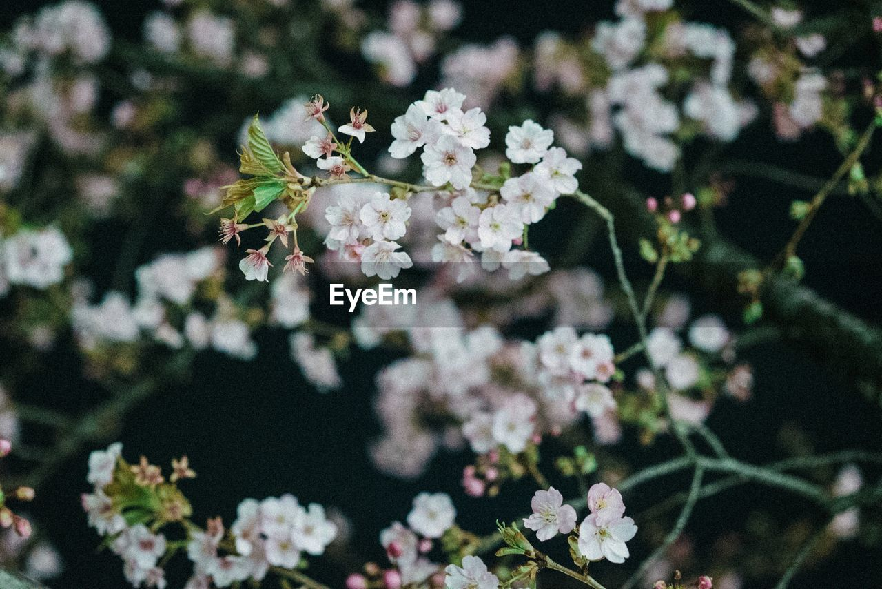 flower, fragility, blossom, growth, white color, nature, beauty in nature, springtime, no people, close-up, focus on foreground, petal, day, freshness, flower head, plant, outdoors, blooming, branch, tree