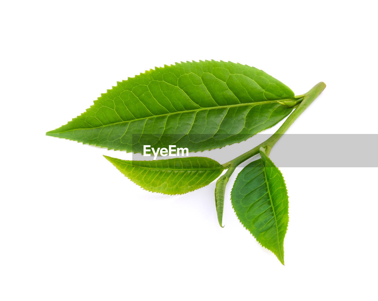 leaf, plant part, studio shot, green color, white background, close-up, cut out, nature, no people, plant, beauty in nature, indoors, freshness, copy space, leaf vein, leaves, natural pattern, growth, vulnerability