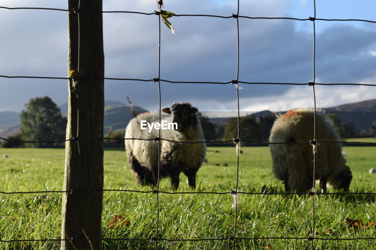 mammal, grass, animal themes, fence, animal, boundary, domestic animals, pets, group of animals, domestic, field, barrier, vertebrate, livestock, security, protection, plant, nature, safety, land, no people, outdoors, herbivorous