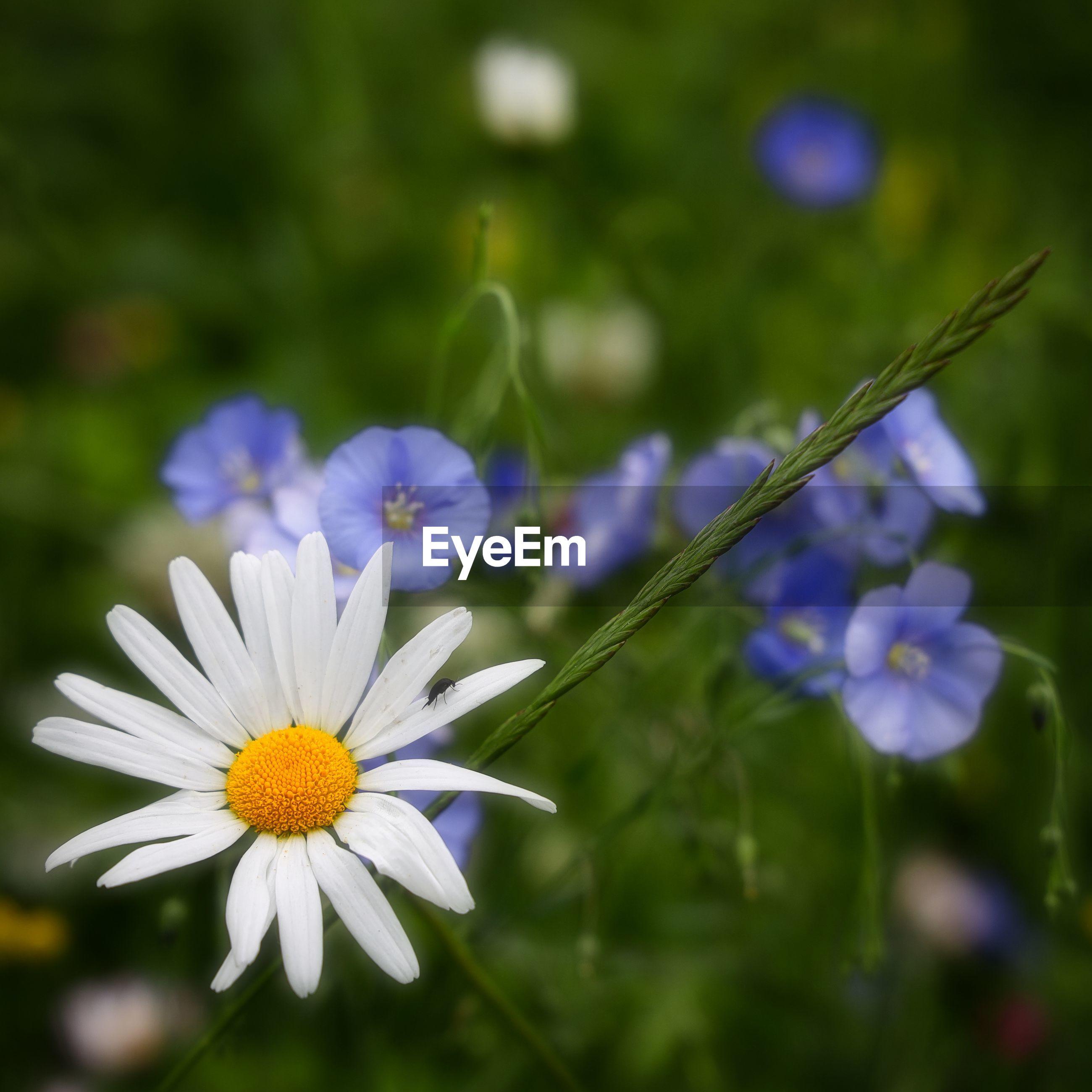 CLOSE-UP OF PURPLE DAISY FLOWERS GROWING ON FIELD
