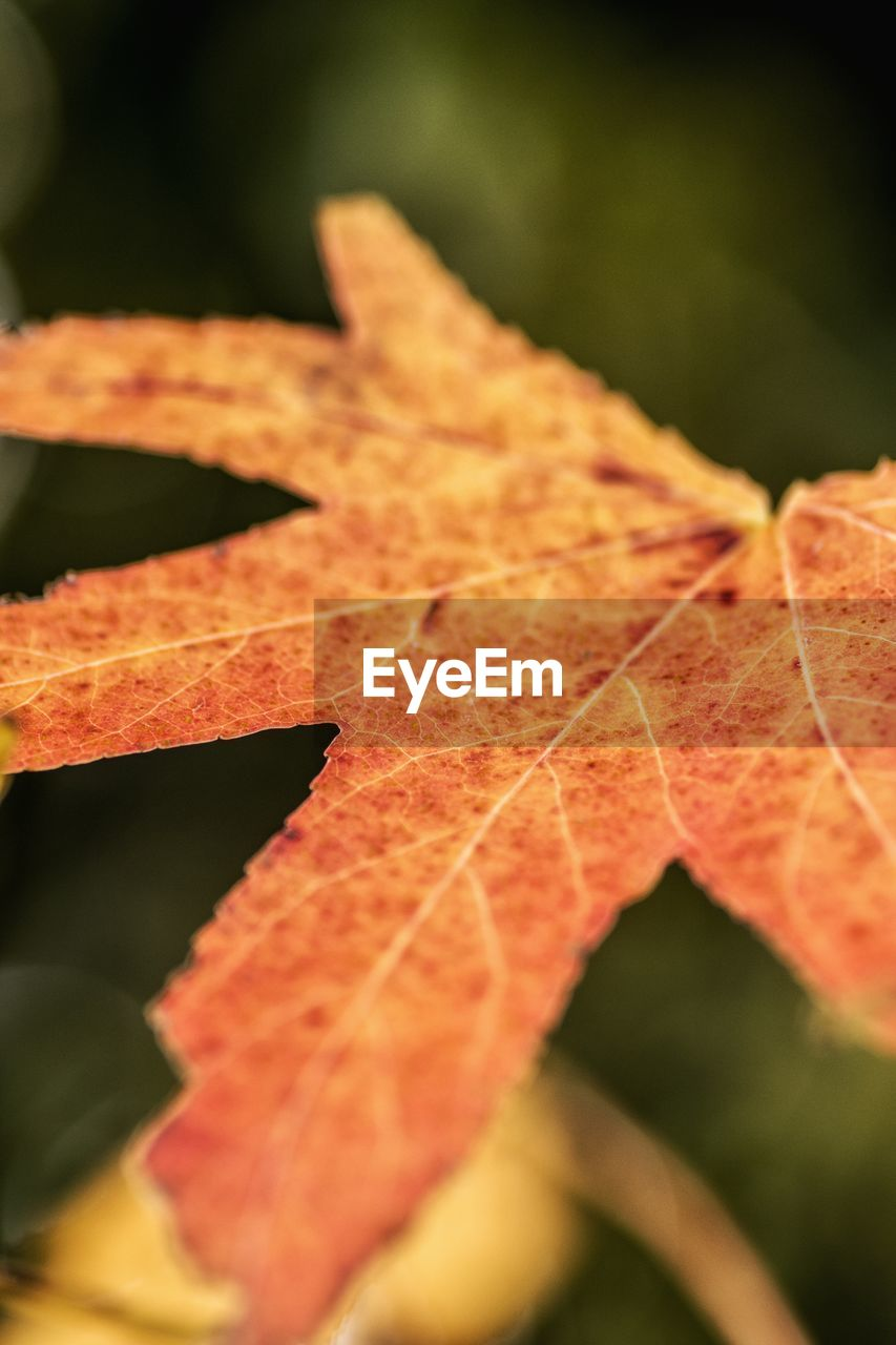 autumn, leaf, change, nature, maple, dry, leaves, selective focus, maple leaf, close-up, day, beauty in nature, outdoors, no people, fragility
