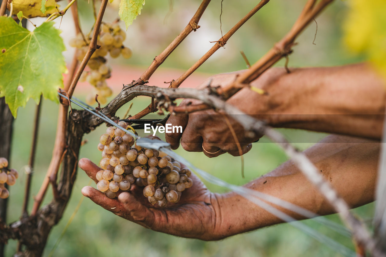 Cropped Hands Of Farmer Cutting Grapes In Vineyard