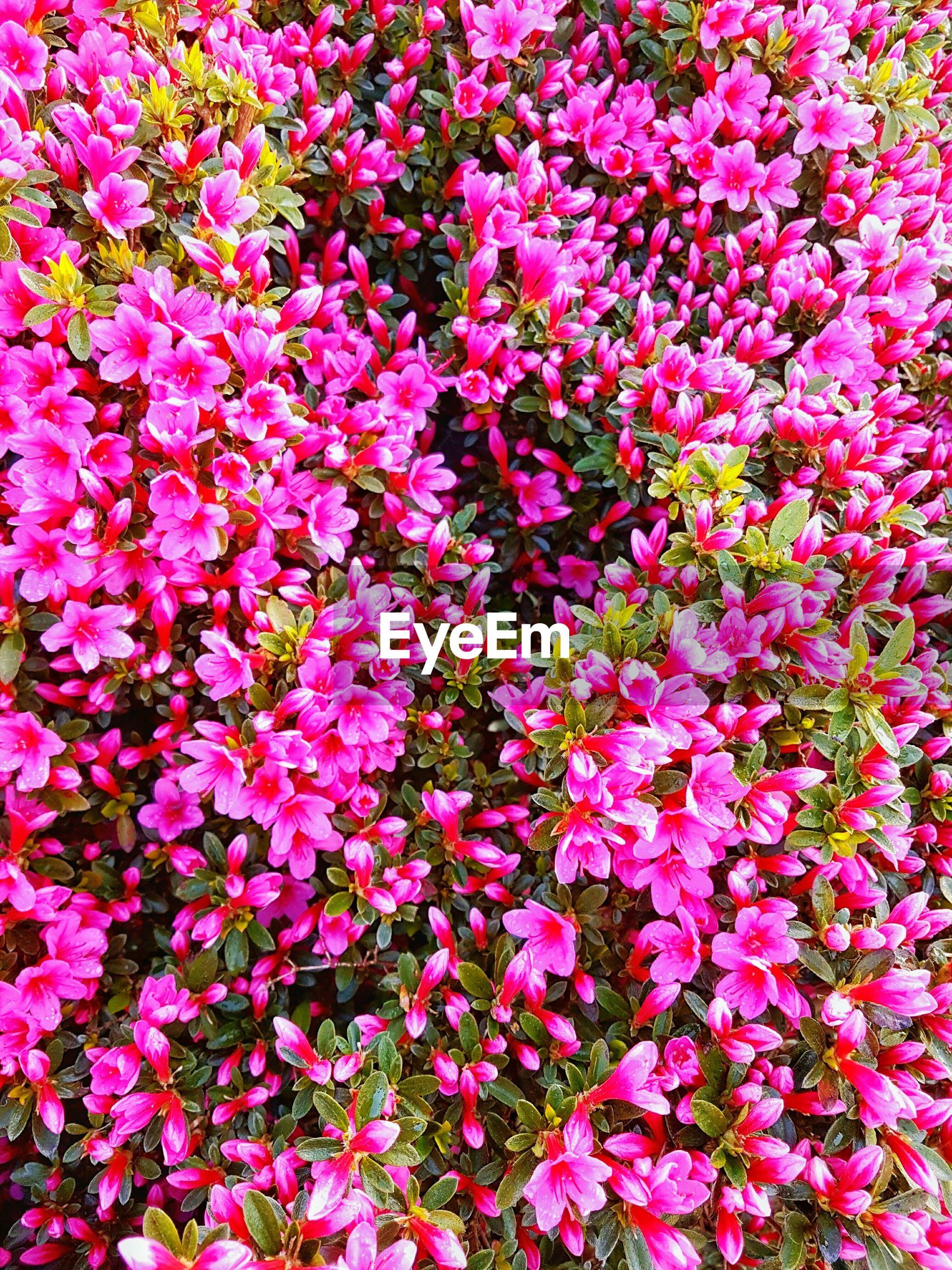 FULL FRAME SHOT OF PINK FLOWERS