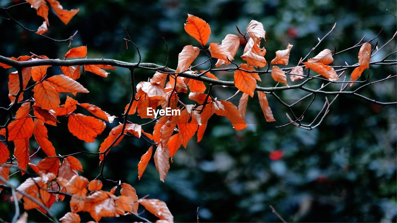 Close-Up Of Orange Leaves On Tree During Autumn