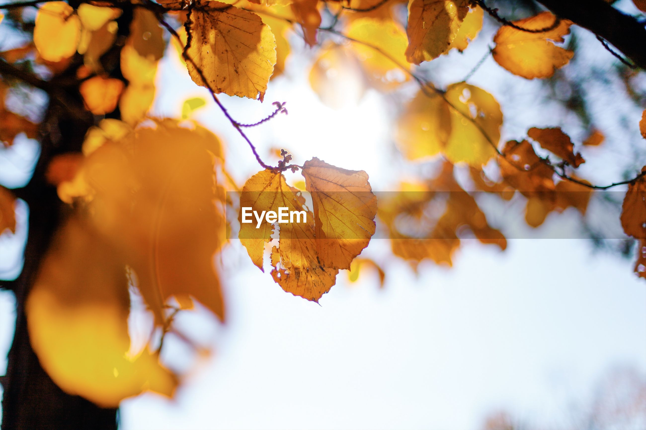 CLOSE-UP OF AUTUMNAL LEAVES AGAINST TREE