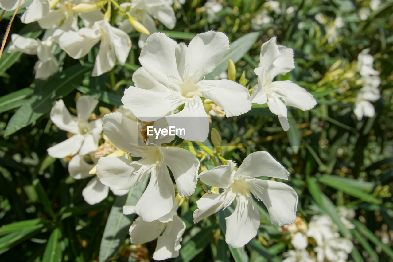 flowering plant, flower, fragility, vulnerability, beauty in nature, plant, freshness, petal, white color, growth, close-up, flower head, inflorescence, focus on foreground, no people, nature, day, outdoors, white, pollen