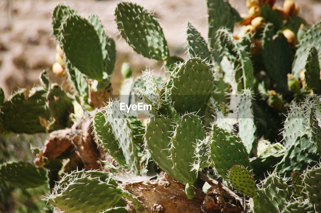 growth, green color, plant, close-up, succulent plant, no people, nature, cactus, leaf, beauty in nature, plant part, day, freshness, selective focus, food, outdoors, food and drink, focus on foreground, thorn, spiked, spiky
