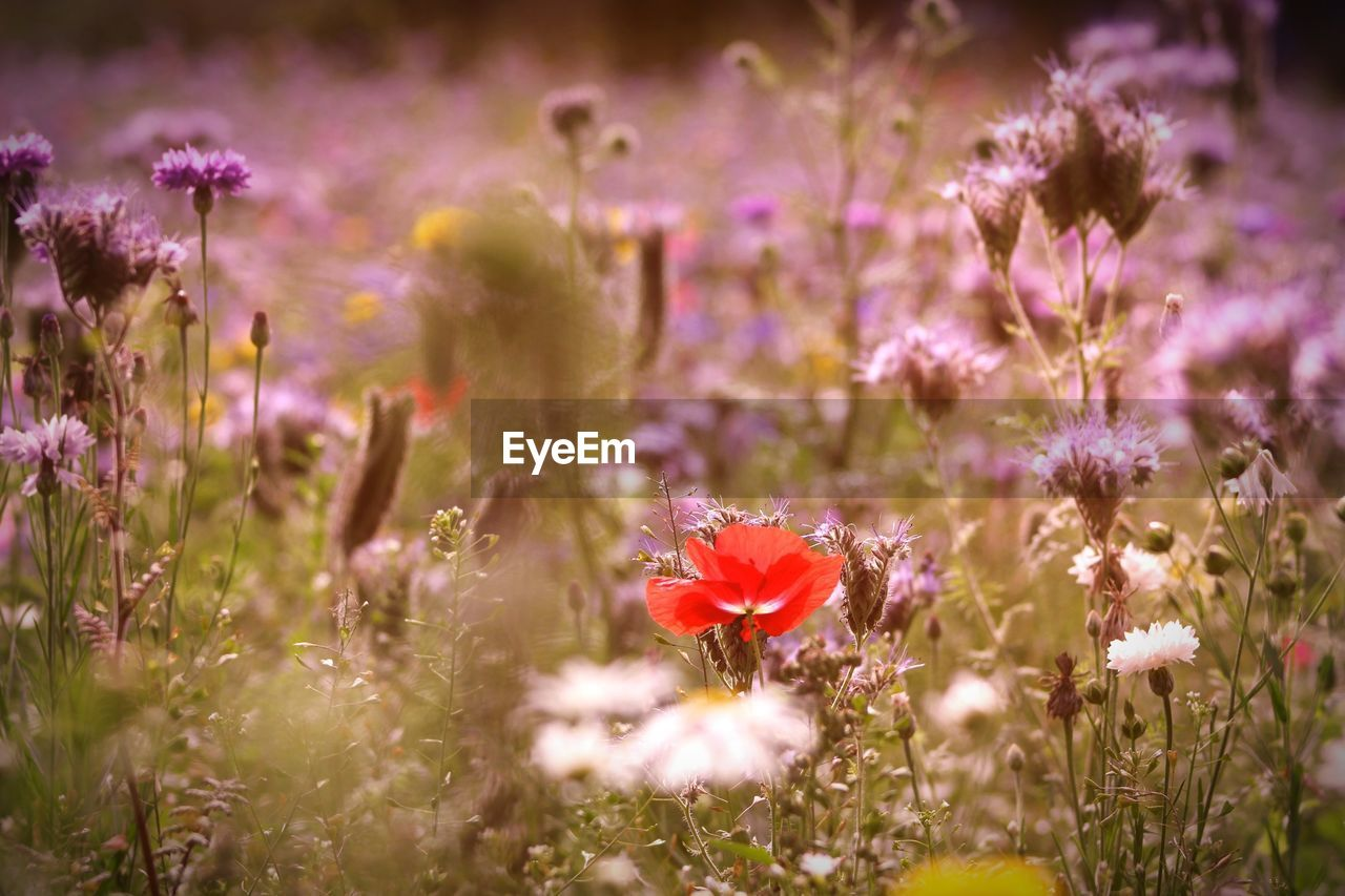 flower, flowering plant, plant, fragility, freshness, vulnerability, beauty in nature, growth, nature, petal, selective focus, field, no people, close-up, land, flower head, day, inflorescence, pink color, sunlight, outdoors, purple, flowerbed