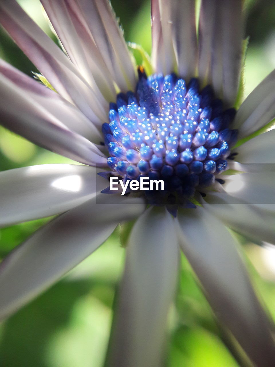 flower, fragility, beauty in nature, growth, nature, petal, flower head, freshness, plant, purple, outdoors, close-up, day, blooming, blue, no people, passion flower