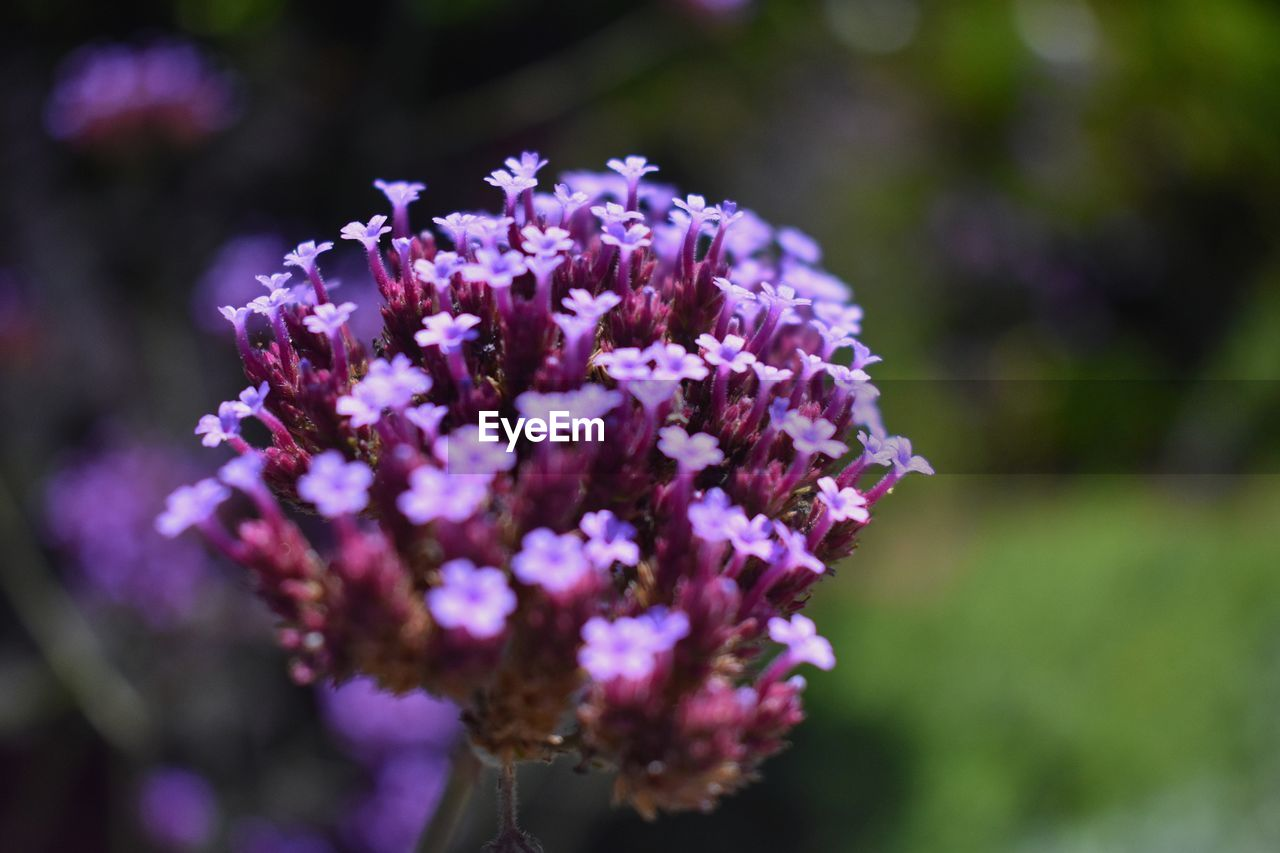 purple, flower, focus on foreground, nature, beauty in nature, fragility, day, freshness, petal, no people, lilac, plant, outdoors, growth, close-up, flower head, blooming