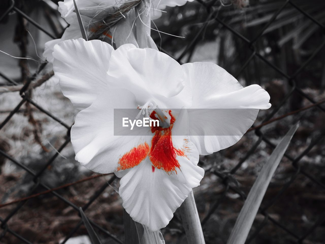 flower, white color, petal, red, nature, beauty in nature, flower head, fragility, freshness, focus on foreground, day, no people, close-up, outdoors, growth, branch, hibiscus, animal themes