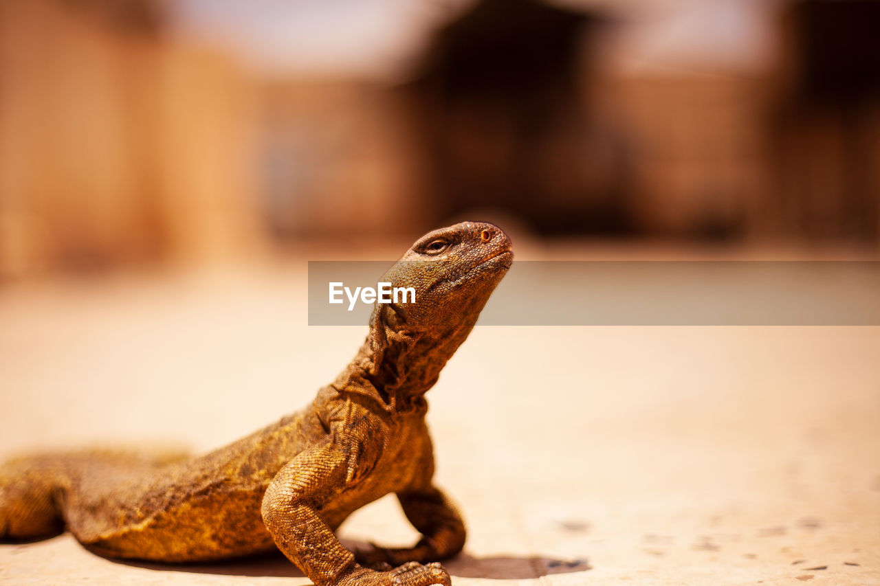 reptile, one animal, focus on foreground, vertebrate, animal, animal themes, close-up, lizard, animal wildlife, no people, animals in the wild, day, brown, animal body part, selective focus, outdoors, looking, nature, looking away, animal head