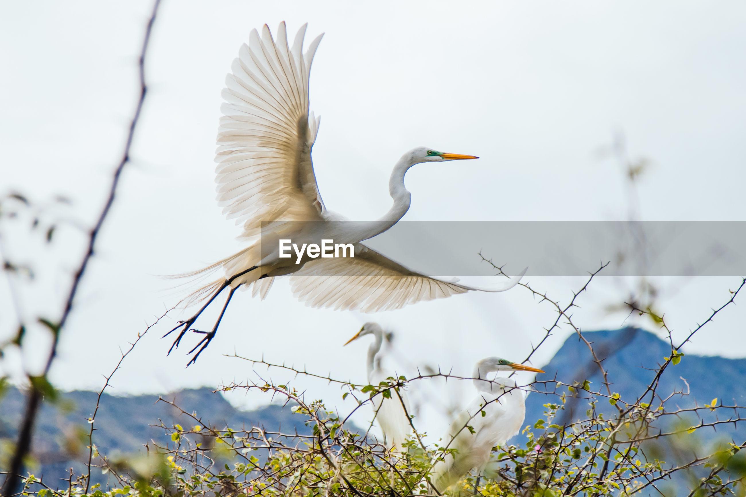 Great egrets flying over plants against sky