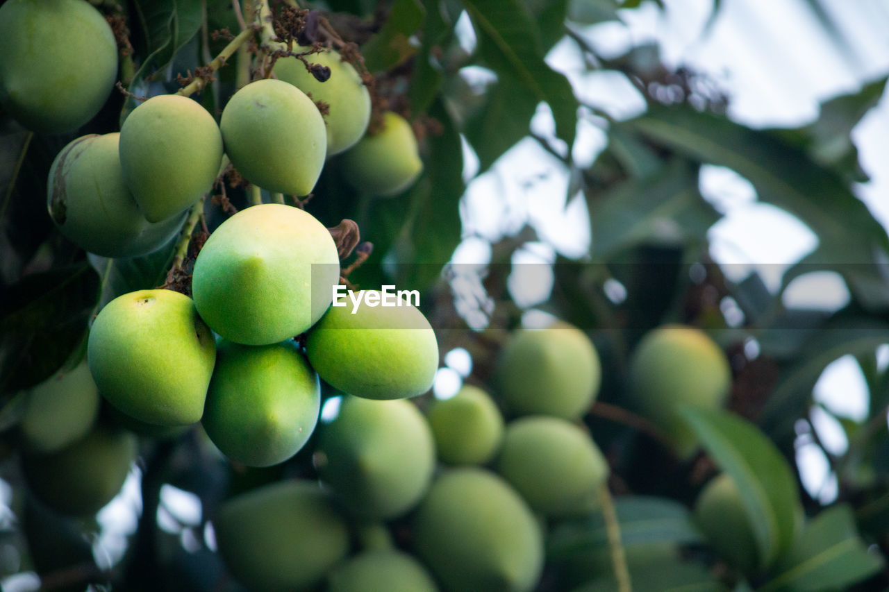 healthy eating, fruit, food and drink, green color, food, growth, freshness, wellbeing, tree, plant, no people, day, close-up, low angle view, focus on foreground, nature, leaf, plant part, outdoors, fruit tree, ripe